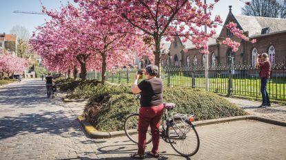 Natuur trekt zich niks aan van corona: Japanse kerselaars bloeien prachtig in Gent