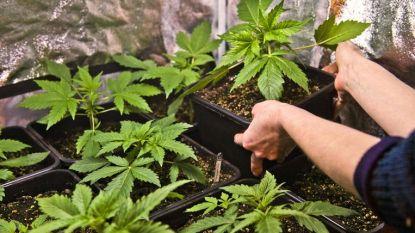Politie vat bestuurder die duizendtal cannabisplanten vervoert