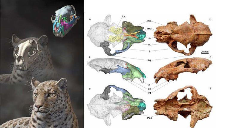 Links: een reconstructie van de grote kat, zoals hij er vermoedelijk uitzag. Rechts: het echte fossiel van de schedel Beeld  Mauricio Antón