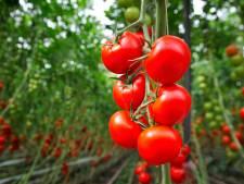 Kwekers houden deuren dicht: Zeer besmettelijk tomatenvirus is boosdoener