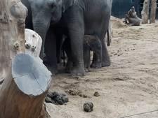 Babyolifant geboren in Dierenpark Amersfoort