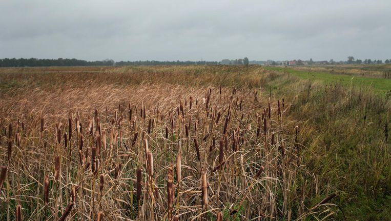 Lisdodden, rietsigaren in de volksmond, in Waterland Beeld  Maarten Boswijk