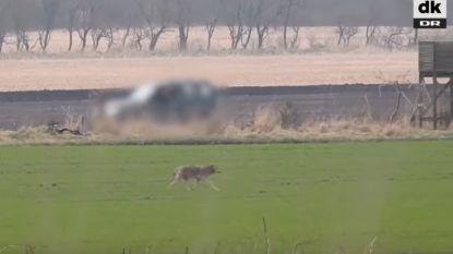 VIDEO: Eén van de eerste wilde wolven in Denemarken in 200 jaar doodgeschoten