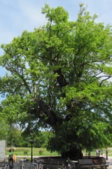 Veere maakt een lijst van waardevolle bomen