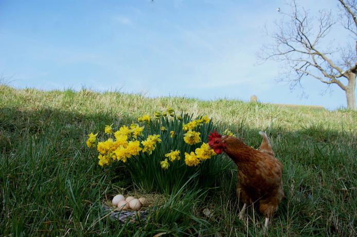 onze huis-kip met de door haar gelegde paaseieren en de narcissen (ook wel paaslelie`s genoemd)