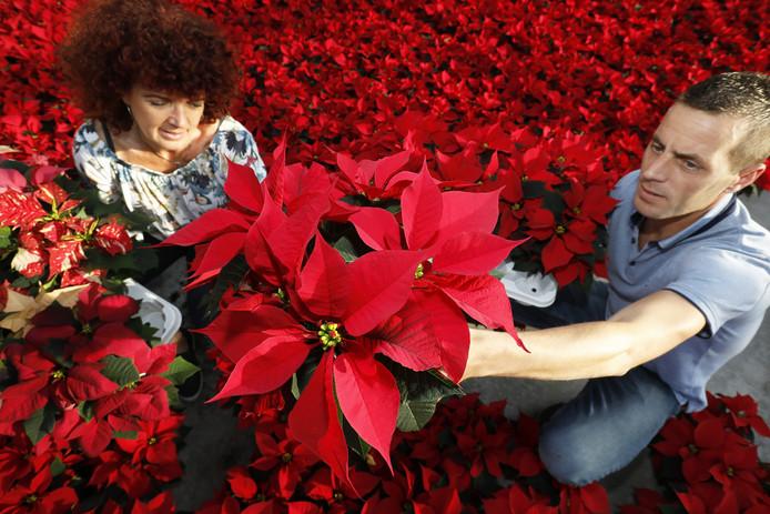 Carolien Kuivenhoven en medewerker Tim Elfers maken de kerststerren klaar voor de handel. De planten van kweker Piet Kuivenhoven zijn twee weken eerder rijp door het zonnige en warme weer van de afgelopen dagen.