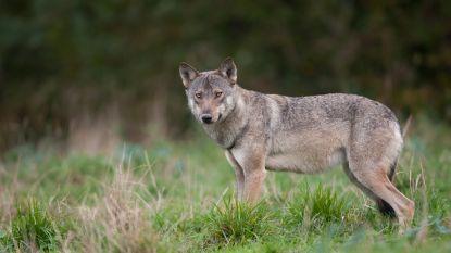Wees niet bang voor de wolf, al beschermt u best schapen en geiten