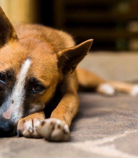 Ethiopië maakt duizenden honden af uit angst voor hondsdolheid