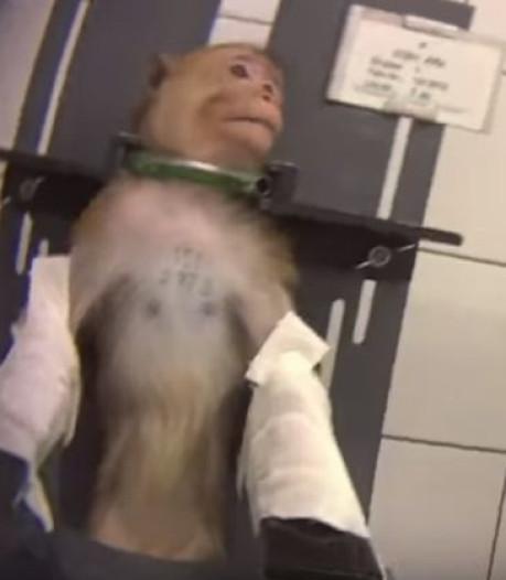 Images insoutenables de singes et de chiens dans un laboratoire, deux sociétés belges concernées