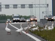 Gazet gelooft gonzende geruchten: grote groep ganzen groeit gestaag!