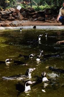 Opluchting in Avifauna: pinguïn in goede gezondheid terug