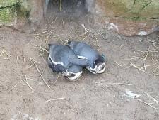 Smoorverliefde pinguïns Locke en Kiki zijn druk in de weer om te zorgen voor nageslacht bij Sea Life
