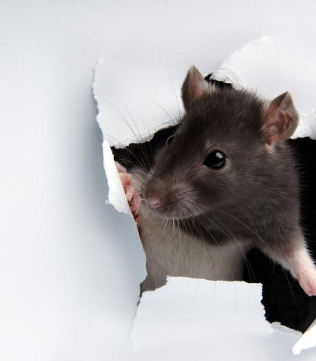 Moerwijkers praten opnieuw over rattenplaag in hun buurt