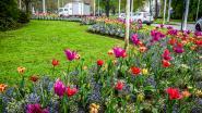 Brugge wordt in 2020 kleurrijker dan ooit: maar liefst een half miljoen bloembollen gaan nu in de grond
