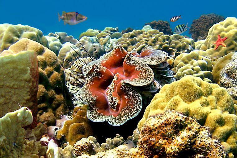 Oceanografen signaleerden in de loop van 2015 wereldwijd problemen op koraalriffen. Vorig jaar was warmer dan ooit, en in het warmere zeewater stoten koralen de algen uit die ze kleur geven. Een teken dat het ecosysteem in de problemen is. De verwachting is dat de recordwarme El Niño in delen van de Pacific nog meer schade geeft. Beeld Colourbox