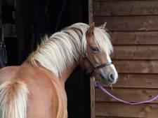 Pony's gaan er midden in de nacht vandoor in Ermelo, ontsnapte dieren weer terug bij de eigenaar