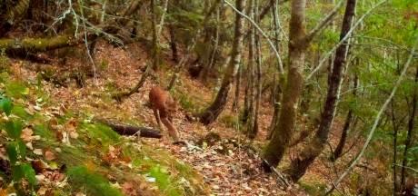 Lynx dichterbij dan ooit: hoe veilig is het bos?
