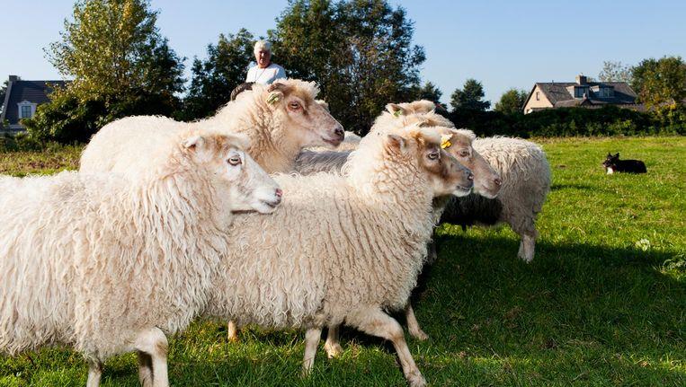 De kudde van Passchier is een vertrouwd gezicht geworden voor buurtbewoners Beeld Renate Beense