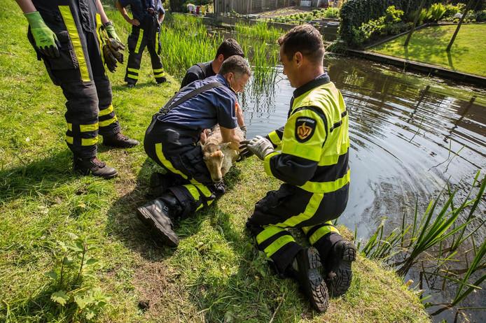 Afgelopen weekeinde nog kukelden enkele schapen in Roosendaals water.