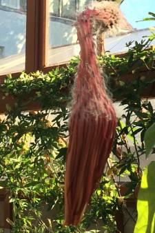 Nachtcactus Oude Hortus na 11 jaar  weer in bloei 'vanwege warmte'