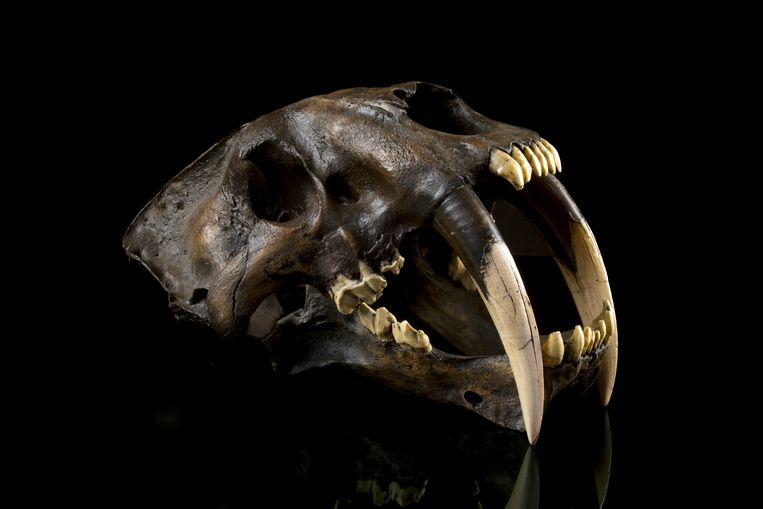 Een schedel van een sabeltandtijger.  Sabeltandtijgers stierven zo'n 10.000 jaar geleden uit.