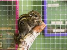 Chinese boomeekhoorns bij 't Erf in Waalwijk