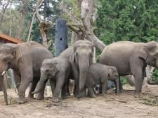 Nog wat langer genieten van olifantje Kyan; verhuizing naar Hongarije uitgesteld