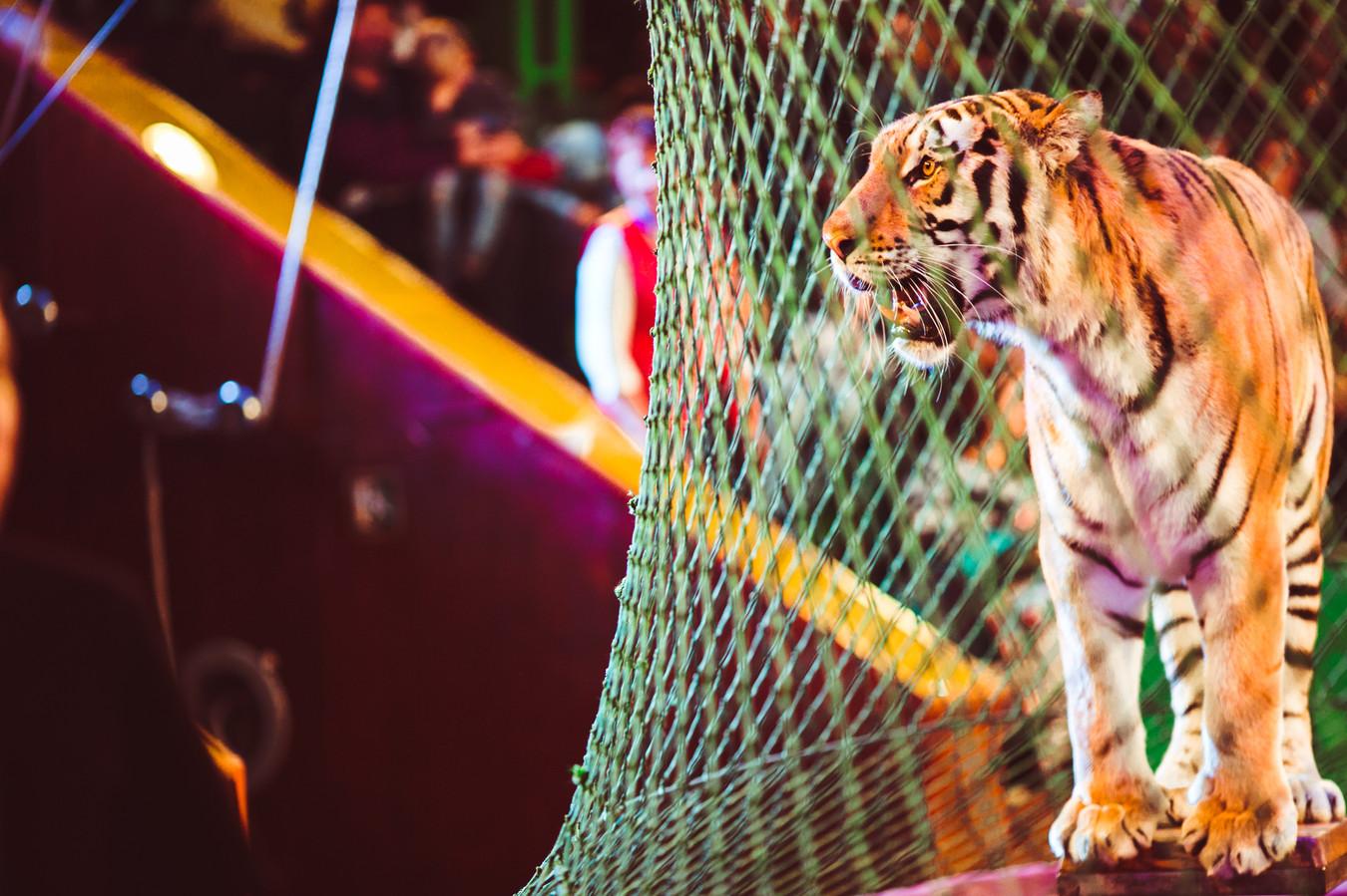 De tijgers speelden een half uur lang met het ontzielde lichaam van Weber.