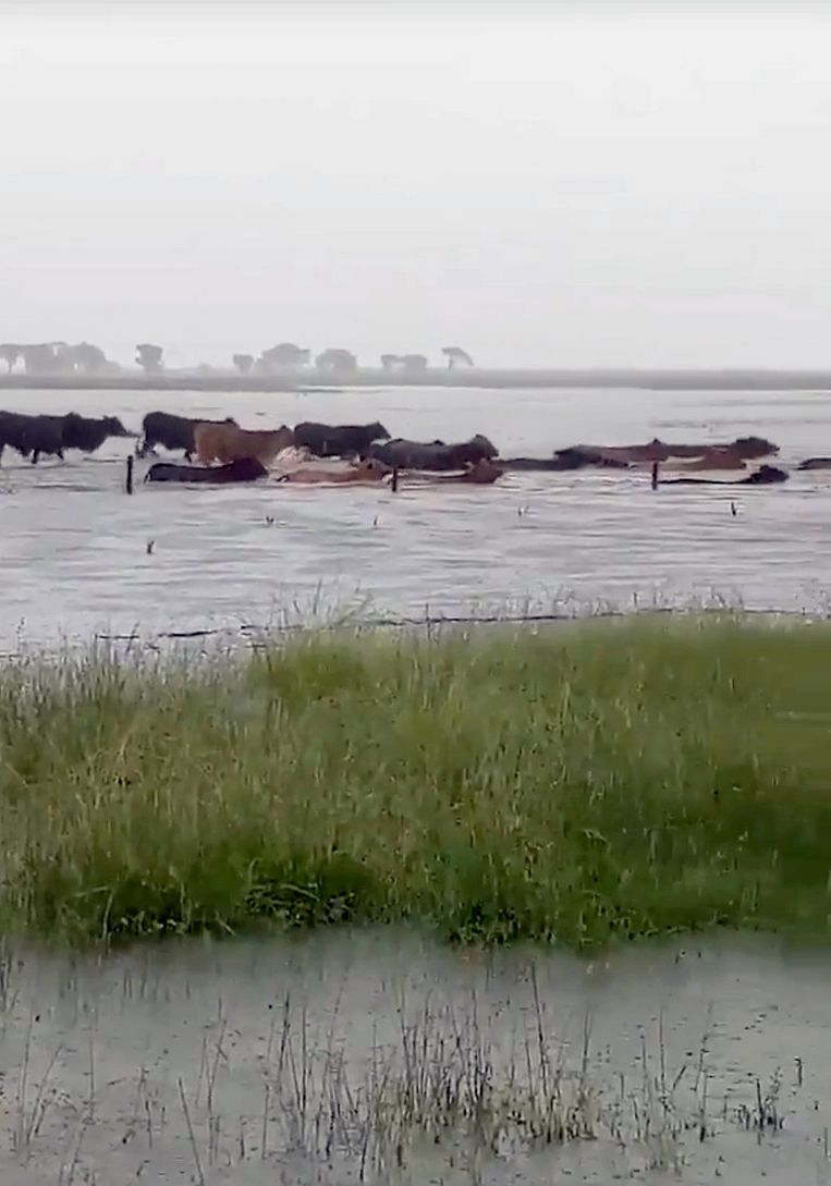 Koeien banen zich een weg door het water in Proserpine (Queensland).