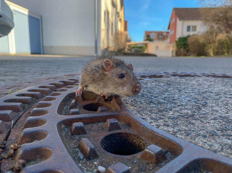 De rat kon niet meer op eigen kracht loskomen doordat hij vast zat in het putdeksel.
