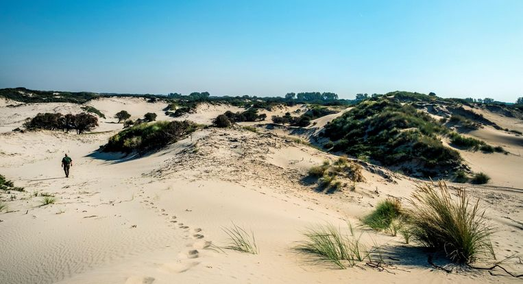 De Hollandse duinen, bij Wassenaar. Beeld Raymond Rutting / de Volkskrant
