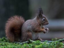 Help de eekhoorns de winter door: Boshut Clinge doet oproep om noten te doneren