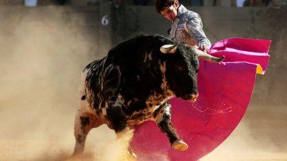 """""""Duizenden stieren nu sneller naar slachthuis door afgelaste stierengevechten"""""""