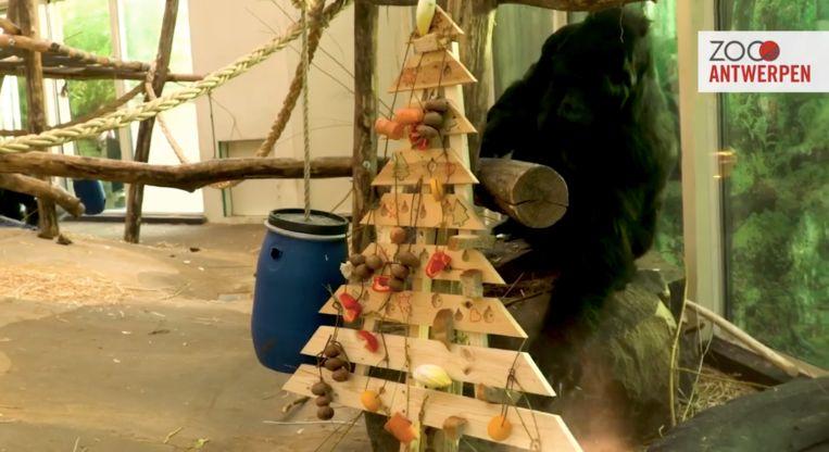 Gorilla Matadi versiert de kerstboom in Antwerpse Zoo.