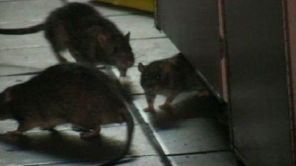 Steeds meer ratten komen naar boven door regen en zelfs het paleis kampt met plaag