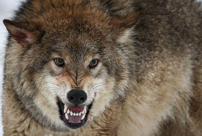 Is de wolf terug in Brabant?