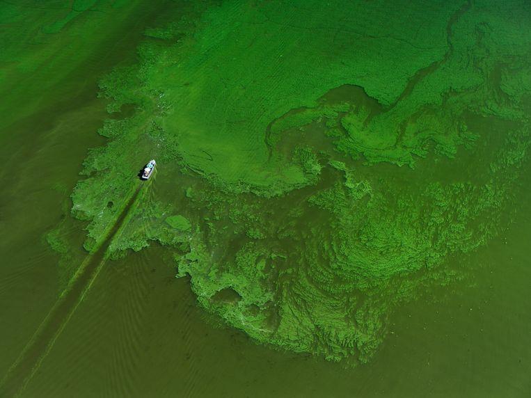 Bij hoge temperaturen ontstaat blauwalg in veel meren, zo ook hier in het Uitgeestermeer Beeld Hollandse Hoogte / Marco van Middelkoop