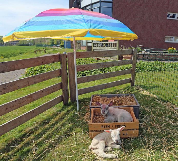 Parasol beschermt lammetjes hellevoetsluis tegen felle zon binnenland - Zon parasol ...