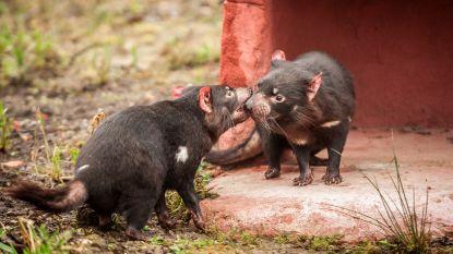 Immuunsysteem van ernstig bedreigde Tasmaanse duivels valt nu zelf - met succes - kanker aan