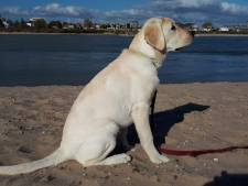 Hulphond Senna is de 'mooiste hond van Gelderland'