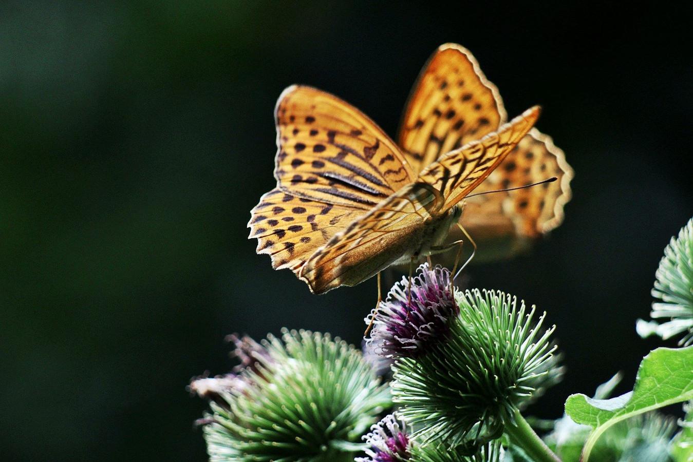 Verschillende boeren gaan tot dit najaar tellen hoeveel vlinders er op hun akkers en in hun weilanden zijn.