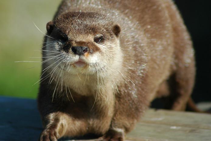Het aantal otters in Nederland is afgelopen jaar nauwelijks gegroeid.