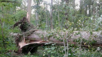 Mammoetboom gesneuveld in Meldertbos