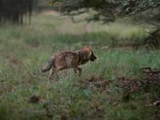 'Vergoed bescherming tegen wolf niet alleen voor veehouders rond de Veluwe'