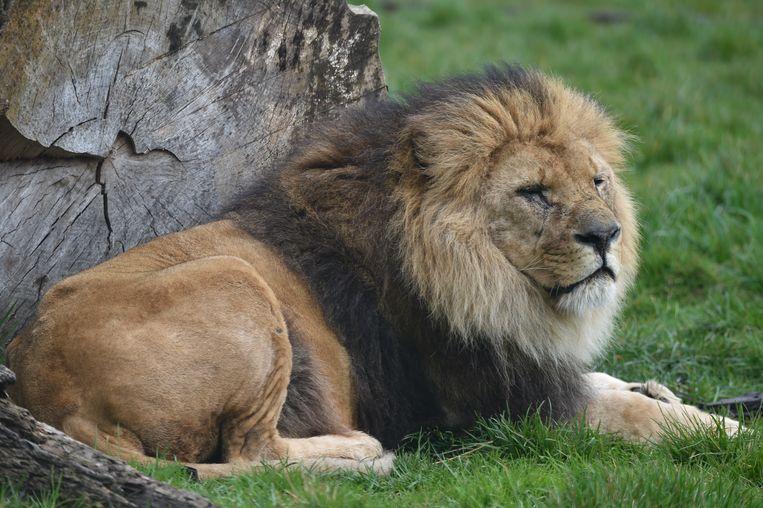 Leeuw Figaro werd 14,5 jaar oud.