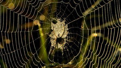 Doping voor spinnen: plots is hun web sterk genoeg om een mens te dragen