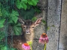 """Hertje uit bos meegenomen naar achtertuin in Harderwijk, politie grijpt in: ,,Het Bambi-effect"""""""