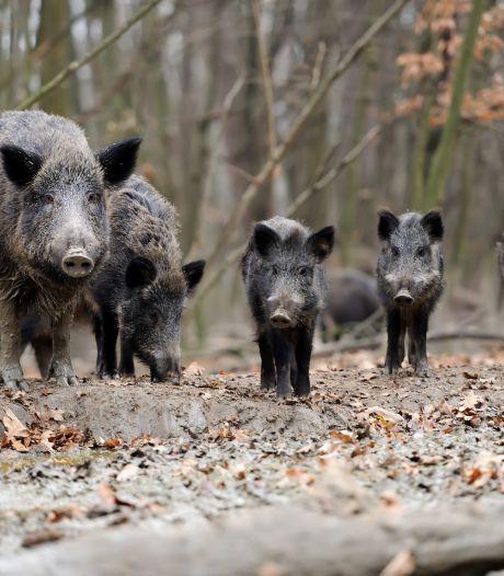 Eerste Drentse rotte wilde zwijnen verstopt zich in maisveld bij Beilen. Provincie Drenthe opent de jacht