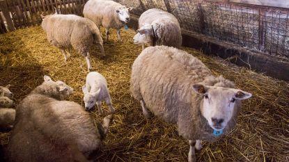 Wolvenplan van minister Schauvliege is slecht nieuws voor schapen