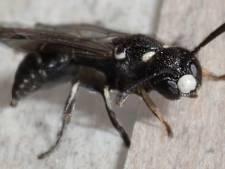 Bijzondere wesp duikt op in achtertuin Heeze